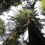 albero più alto d'Italia