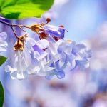 Fiori di paulownia, l'albero antismog