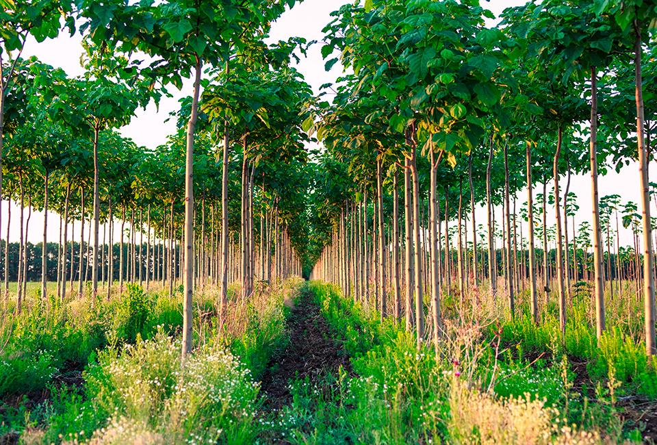 La paulownia, l'albero antismog